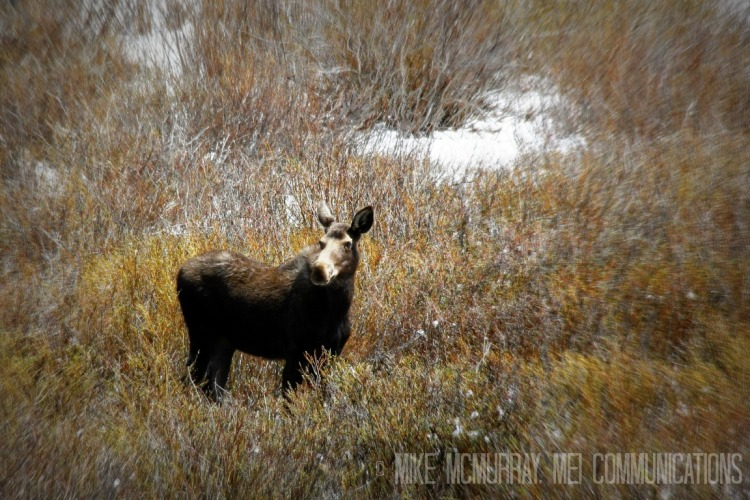 Moose in Big Horn Mountains